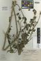Sida santaremensis var. krapovickasiana Monteiro, ARGENTINA, A. Krapovickas 2417, Isotype, F