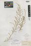 Salsola rigida var. tenuifolia Boiss., Syria, C. Gaillardot 1627, Isotype, F
