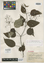 Clidemia gracilipes Gleason, MEXICO, Y. Mexia 9262, Isotype, F