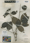 Kibessia affinis Merr., A. D. E. Elmer 21478, Isotype, F