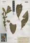 Medinilla calcicola Merr., PHILIPPINES, C. M. Weber 1574, Isotype, F