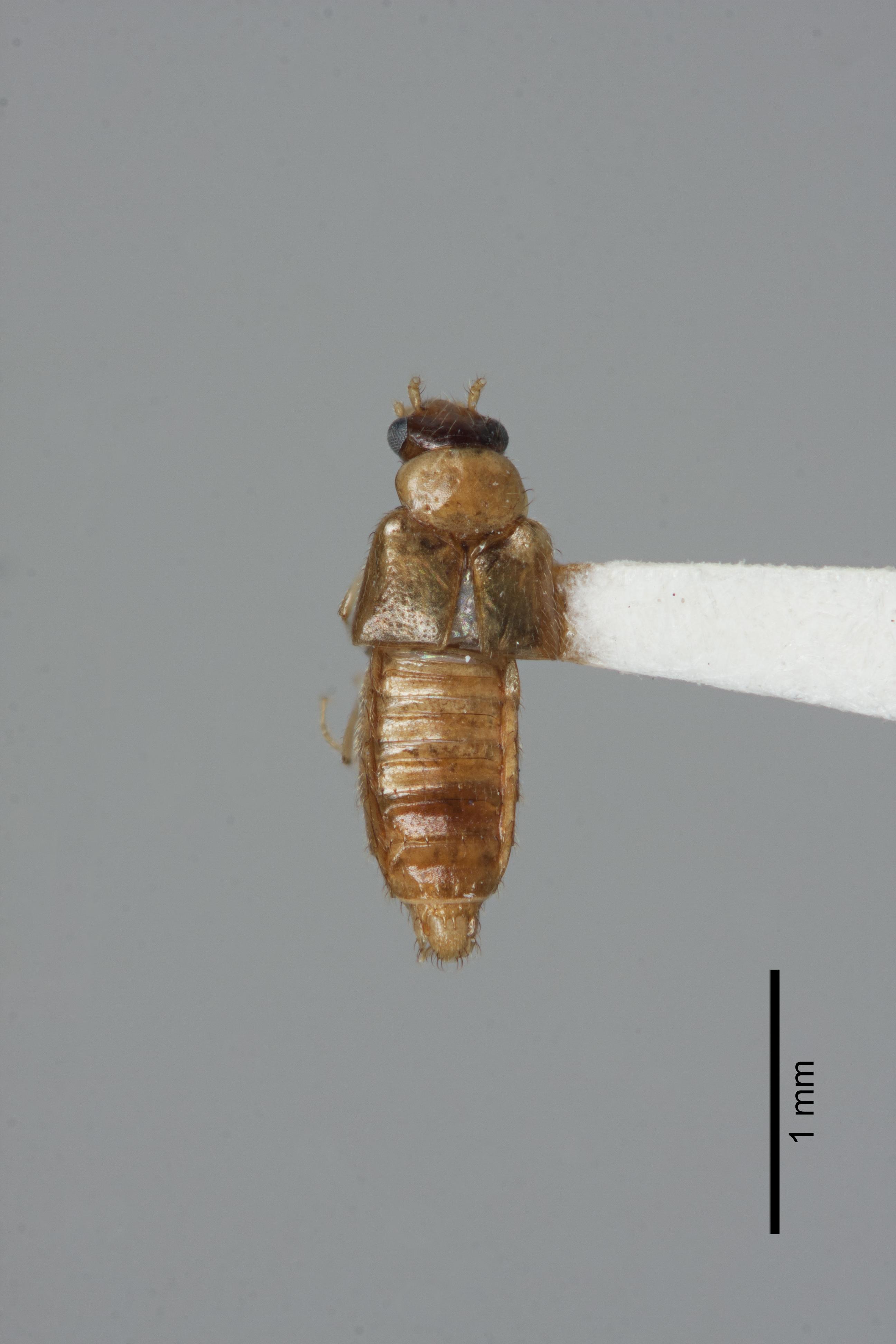 Image of Gyrophaena caseyi