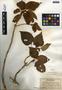 Viola chamissoniana image