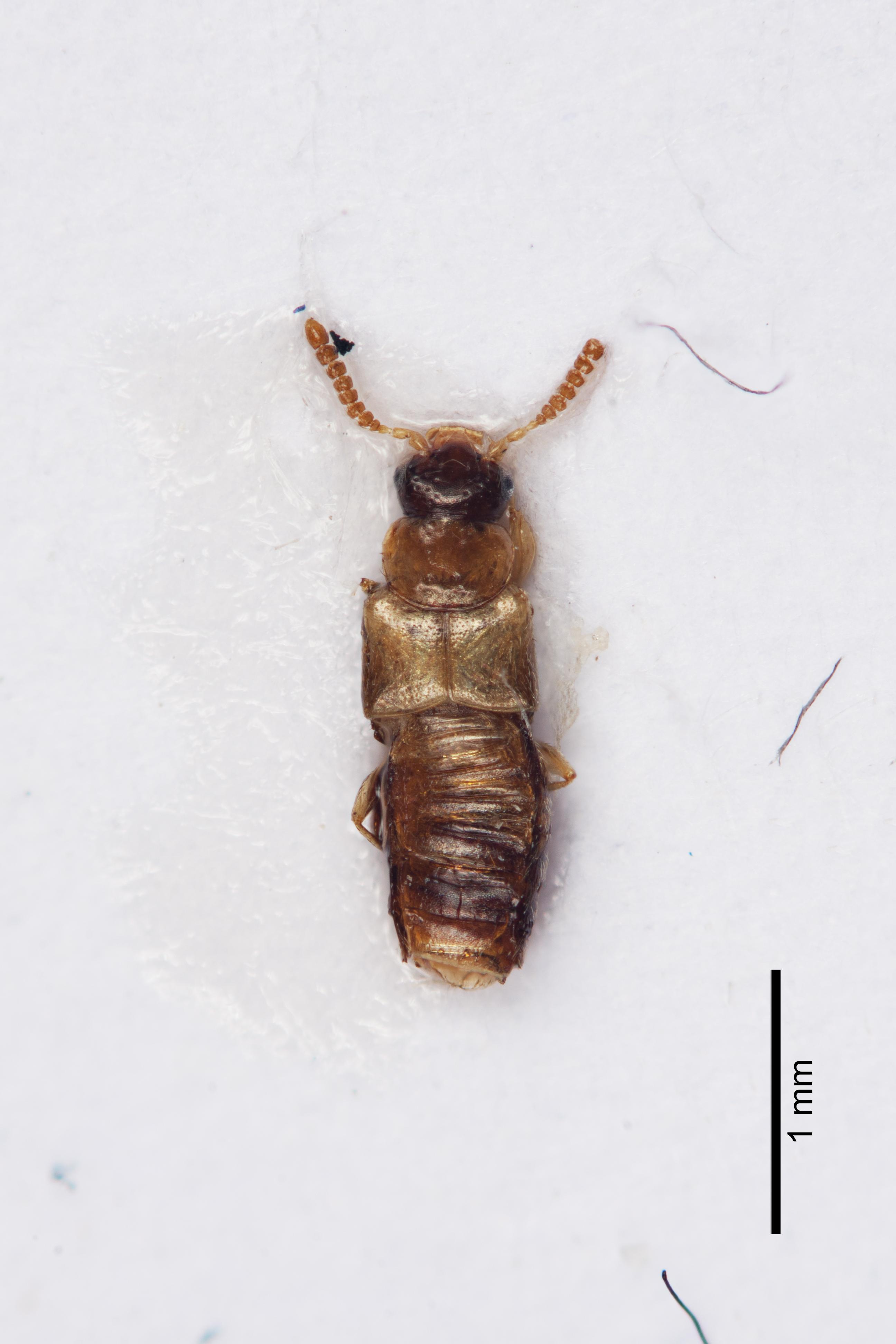 Image of Gyrophaena nanoides