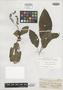 Triolena radicans Brandegee, MEXICO, C. A. Purpus 6102, Isotype, F