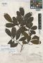 Brosimum rotundatum Standl., BRITISH GUIANA [Guyana], D. B. Fanshawe 688, Holotype, F