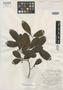 Brosimum rotundatum Standl., BRITISH GUIANA [Guyana], D. B. Fanshawe 688, Isotype, F