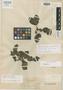 Dorstenia excentrica Moric., MEXICO, J. L. Berlandier 30, Isotype, F