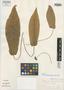 Dorstenia amazonica Carauta et al., BRAZIL, J. P. P. Carauta 1863, Isotype, F