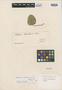 Dorstenia brasiliensis Lam., URUGUAY, P. Commerson s.n., Isotype, F
