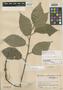 Dorstenia colombiana Cuatrec., COLOMBIA, J. Cuatrecasas 15508, Holotype, F