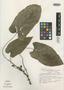 Dorstenia grazielae Carauta et al., BRAZIL, J. P. P. Carauta 1411, Isotype, F