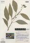 Dorstenia hildegardis Carauta et al., BRAZIL, J. P. P. Carauta 1811, Isotype, F
