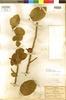 Ficus pringlei S. Watson, MEXICO, C. G. Pringle 3865, F