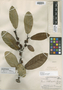 Ficus albert-smithii Standl., GUYANA, A. C. Smith 3651, Holotype, F
