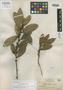 Ficus gleasoni Standl., BRITISH GUIANA [Guyana], J. S. de la Cruz 2396, Holotype, F