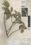 Ficus kanukuensis Standl., BRITISH GUIANA [Guyana], A. C. Smith 3143, Holotype, F