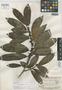 Ficus maguirei Standl., BRITISH GUIANA [Guyana], B. Maguire 23528, Holotype, F