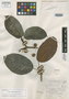 Ficus manicariarum Standl., BRITISH GUIANA [Guyana], D. B. Fanshawe 2434, Holotype, F