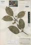 Ficus savannarum Standl., BRITISH GUIANA [Guyana], B. Maguire 23292, Holotype, F