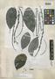 Helicostylis obtusifolia Standl., VENEZUELA, G. H. H. Tate 389, Isotype, F
