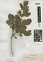 Taxatrophis obtusa Elmer, Philippines, A. D. E. Elmer 12966, Isotype, F