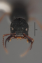 63519 Formicocephalus venator HT h IN