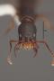 63520 Formicocephalus thayerae HT h IN