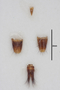 63520 Formicocephalus thayerae HT a IN
