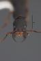 63521 Formicocephalus newtoni HT h IN