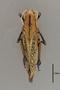 127030 Taeniopoda auricornis d IN