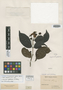 Campomanesia glabra Benth., GUYANA, R. H. Schomburgk 2, Isotype, F