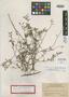 Eugenia androsiana Urb., BAHAMAS, J. K. Small 8496, Isotype, F