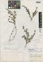 Chamaesyce brachypoda image