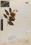 Croton nervosus var. pubescens Klotzsch, GUYANA, Schomburgk 802, Isotype, F