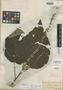 Croton palanostigma Klotzsch, BRITISH GUIANA [Guyana], Schomburgk 1008, Isosyntype, F