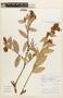 Cavendishia bracteata (Ruíz & Pav. ex J. St.-Hil.) Hoerold, Peru, V. Quipuscoa S. 1369, F