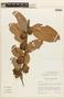 Cavendishia bracteata (Ruíz & Pav. ex J. St.-Hil.) Hoerold, ECUADOR, F