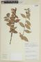 Cavendishia bracteata (Ruíz & Pav. ex J. St.-Hil.) Hoerold, PERU, F