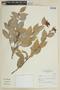 Cavendishia bracteata (Ruíz & Pav. ex J. St.-Hil.) Hoerold, Peru, I. M. Sánchez Vega 611, F