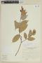 Cavendishia bracteata (Ruíz & Pav. ex J. St.-Hil.) Hoerold sensu lato, Peru, J. Mostacero León 1027, F