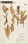 Cavendishia bracteata (Ruíz & Pav. ex J. St.-Hil.) Hoerold, COLOMBIA, F