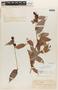Cavendishia bracteata (Ruíz & Pav. ex J. St.-Hil.) Hoerold, Colombia, F. C. Lehmann 7447, F