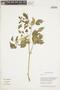 Physalis angulata L., BRITISH GUIANA [Guyana], F