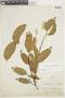 Heisteria spruceana Engl., PERU, F