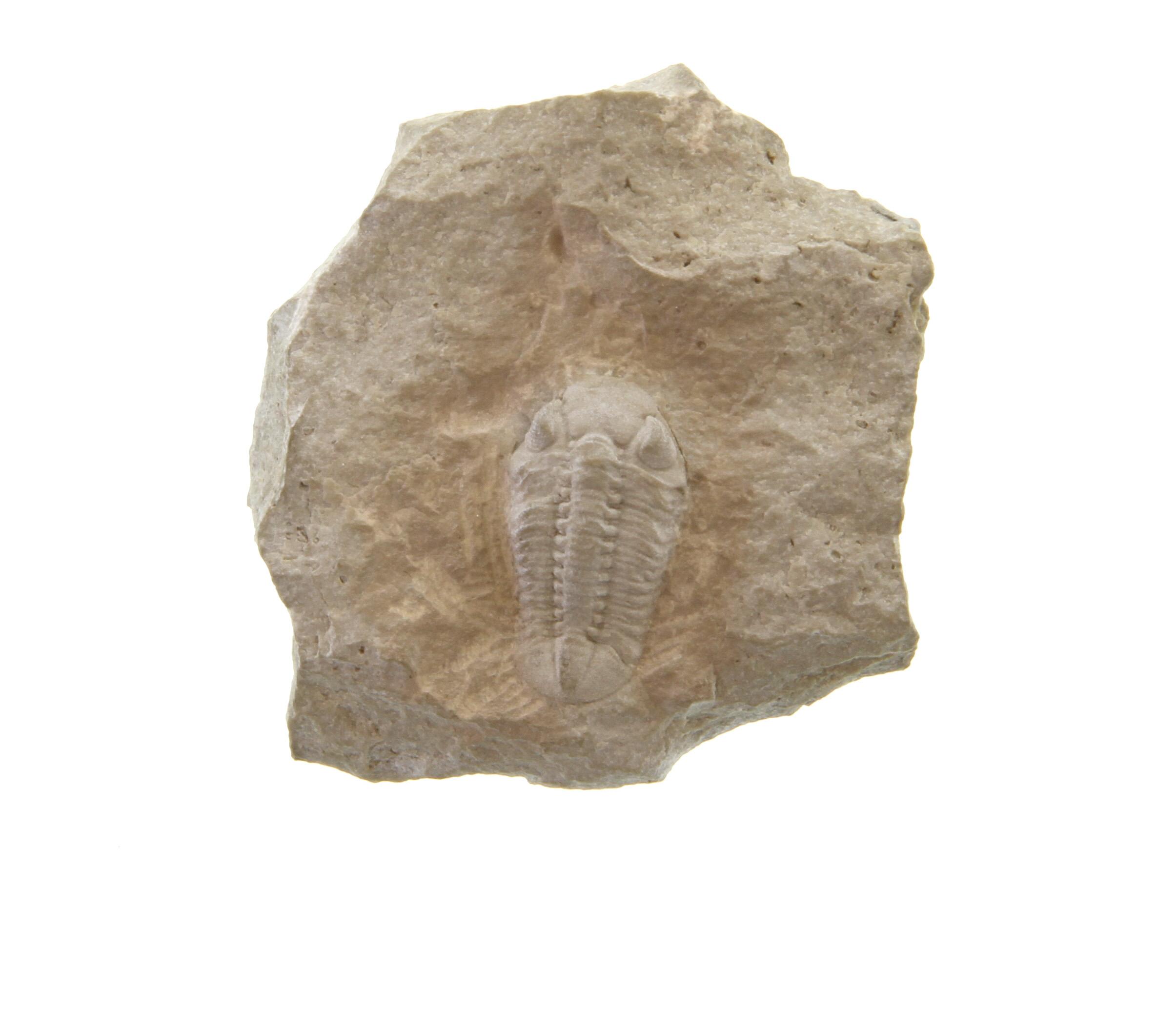 Species: Eophacops handwerki