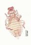 28453 Trochiloecetes naevius PT v IN