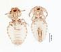 28459 Bovicola orientalis PT d IN