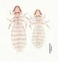 28462 Abrocomophaga chilensis PT v IN