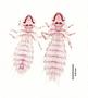 28464 Abrocomophaga chilensis PT d IN
